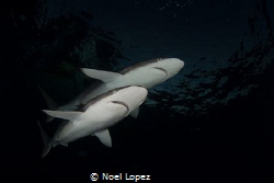 two silky sharks, nikon D800E, tokina lens 10-17mm at 15m... by Noel Lopez