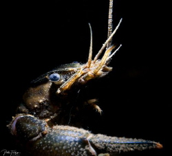 freshwater lobster by Pieter Firlefyn