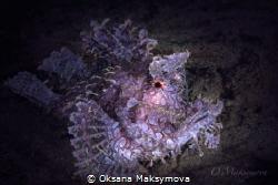 Purple Weedy scorpionfish  (Rhinopias frondosa) by Oksana Maksymova