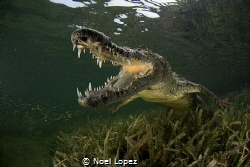 american crocodile,nikon D800E, tokina lens 10-17mm at 15... by Noel Lopez