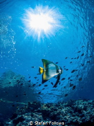 Burning One Orbiculate Batfish - Platax orbicularis Sai... by Stefan Follows