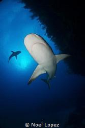 Caribean Reef Shark, nikon D800E, tokina lens 10-17mm at ... by Noel Lopez