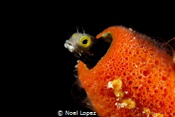 blenny, canon 60D, canon macro lens 60mm, two ikelite sub... by Noel Lopez