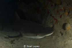 caribean reef shark resting inside a cave, canon 60D, tok... by Noel Lopez