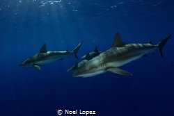 caribean reef sharks,canon60D ,tokina lens 10-17mm at 10m... by Noel Lopez