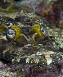 croc fish face 105/d70 by Victor Zucker