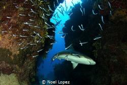 caribean reef shark, Canon 60D, tokina lens 10-17mm at 10... by Noel Lopez