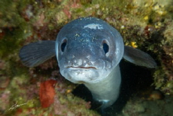 The conger eel looks curiously at being reflected in the ... by Pablo Gutierrez
