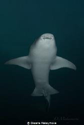 Nurse shark (Nebrius ferrugineus) by Oksana Maksymova