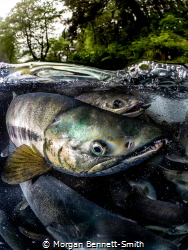 A Chum Salmon migrating to spawn in Juneau, Alaska! by Morgan Bennett-Smith
