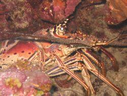 Lobster hunting.... by Kelly N. Saunders