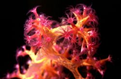 'POLYP STUDY' Soft coral with polyp close up. HOused Niko... by Rick Tegeler