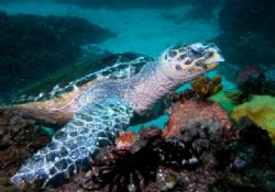 Turtle Taken at Julian Rocks Byron Bay by Peter Simpson