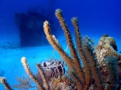 Swam up on the Sea viking hidden behind some coral heads.... by Becky Kagan