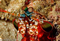 Standard red Peacock Mantis from Kawe Island Raja Ampat. by Dr Bob Whorton