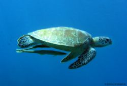 Green turtle with remoras in shallow water at Batu Nisan,... by Tobias Reitmayr