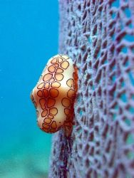 Flamingo Tongue taken with a pentax near by Hepp's Pipeli... by Carlos Valenzuela