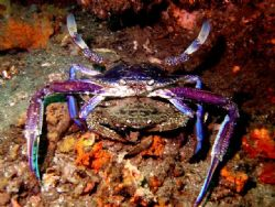"""Get a room"" two Blue swimmer crabs at Shiprock Sydney by Peter Simpson"