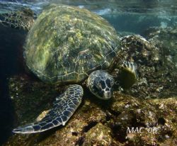 In the Shallows. This turtle and I were both being surged... by Mathew Cook