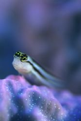Arty Goby by Richard Smith