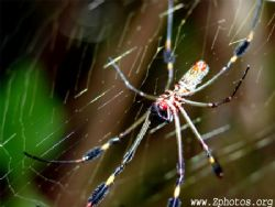 Golden silk spider hangs out near marshes. Their web is s... by Zaid Fadul