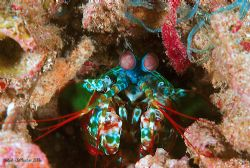 The greener mantis shrimp from Raja Ampat... by Dr Bob Whorton