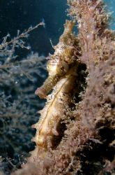 Seahorse taken at Balmoral Shark net Sydney by Peter Simpson