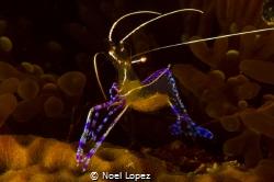 pederson shrimp,canon 60D ,canon lens 60mm,seacam housing... by Noel Lopez