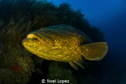 Goliath grouper,canon 60D,tokina lens 10-17mm at 10mm, tw... by Noel Lopez