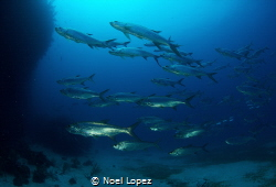 school of tarpons, canon 60D , tokina lens 10-17mm at 10m... by Noel Lopez
