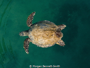 Sea Turtle in the Red Sea by Morgan Bennett-Smith