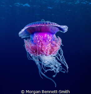 Cauliflower Jellyfish in Yanbu, Saudi Arabia. by Morgan Bennett-Smith