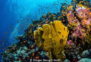 Reef scene near Thuwal, Saudi Arabia. by Morgan Bennett-Smith