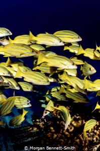 Schooling fish on a world war 2 plane wreck off Oahu, Haw... by Morgan Bennett-Smith