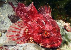 Scorpion Fish - Looks quite calm considering it was blowi... by Jim Garland
