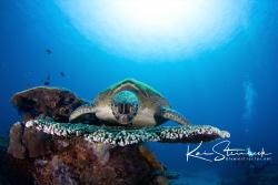 Beautiful green sea turtle by Kai Steinbeck