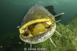 Catfish in Ada Ciganlija lake. I made it this spring with... by Janez Kranjc