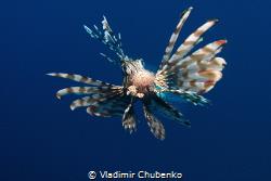 lionfish by Vladimir Chubenko