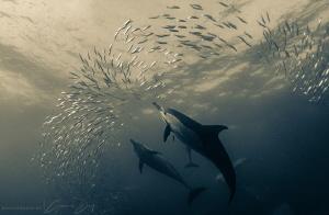 Common dolphins smashing a baitball on the Sardine Run. by Gemma Dry