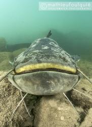 wels catfish (Silurus glanis), Lez river (France) by Mathieu Foulquié