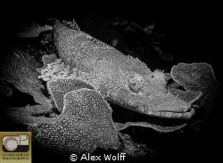 Crocodile fish on great barrier reef by Alex Wolff