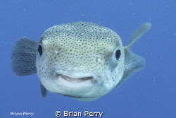 Porcupine fish, Key Largo, Florida by Brian Perry