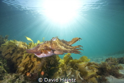 Cuttlefish swimming through the water with a sun burst at... by David Haintz