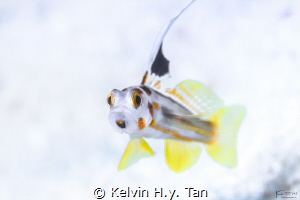 Yasha goby, common in/ near japan but not elsewhere by Kelvin H.y. Tan