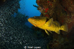 nassau grouper and silver side fish,canon 60D ,tokina len... by Noel Lopez