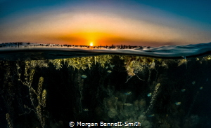 Over/Under of a sargassum forest in Saudi Arabia. by Morgan Bennett-Smith