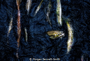Salmon running in the Alaskan Pacific from above. by Morgan Bennett-Smith