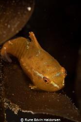 A juvenile lumpsucker on a piece of sugar kelp by Rune Edvin Haldorsen