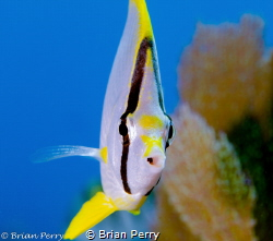 Spotfin Butterfly by Brian Perry