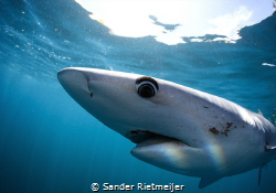 Majestic Blue Shark in the late afternoon. by Sander Rietmeijer